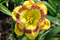 Hemerocallis 'New Paradigm'