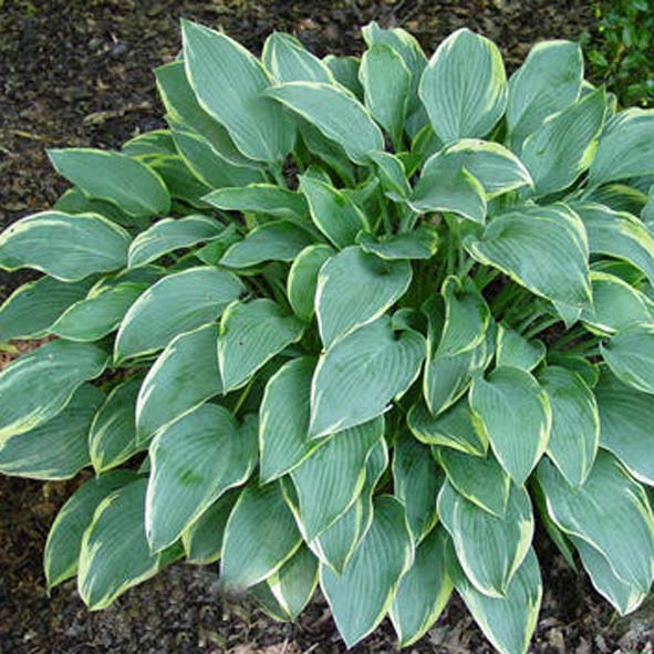 Hosta Dress Blue