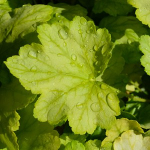 Heuchera Mint Julep