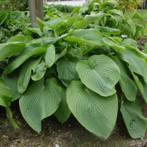 Hosta Empress Wu