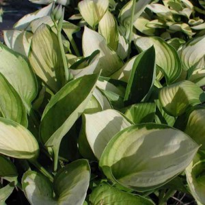 Hosta fortunei Janet