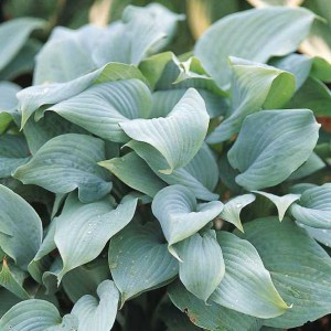 Hosta Fragant Blue
