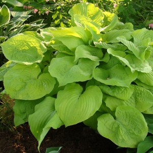 Hosta King Size