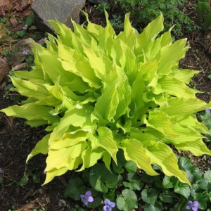 Hosta Marrakesh