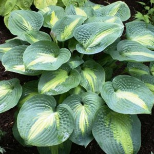 Hosta St Paul