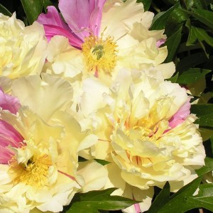Pivoine Itoh - Paeonia Lemon Dream