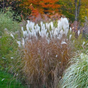 Miscanthus sinensis Autumn Light