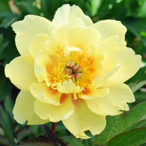 Pivoine Itoh - Paeonia Sequestered Sunshine