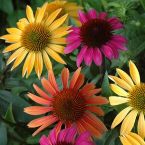 echinacea_group_web